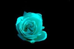 在单色背景的玫瑰花蕾 库存图片
