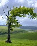 在南下来国立公园,英国的被风吹扫树 库存图片