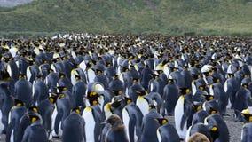 在南乔治亚的企鹅国王 影视素材