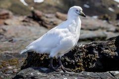 在南乔治亚海岛上的斯诺伊Sheathbill鸟  库存图片