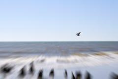 在南卡罗来纳海滩的鹈鹕 免版税库存图片