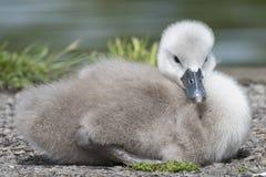 在南安普敦共同性的一只小天鹅 免版税图库摄影