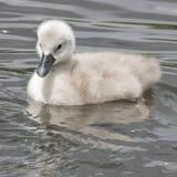 在南安普敦共同性的一只小天鹅 免版税库存图片