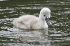 在南安普敦共同性的一只小天鹅 库存图片