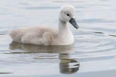 在南安普敦共同性的一只小天鹅 免版税库存照片