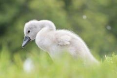 在南安普敦共同性的一只小天鹅 库存照片