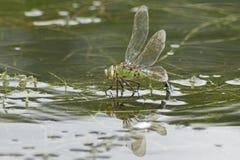 在南安普敦共同性的一只皇帝蜻蜓 免版税库存照片