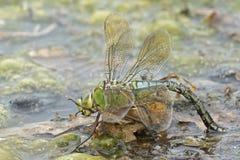 在南安普敦共同性的一只皇帝蜻蜓 免版税图库摄影