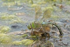 在南安普敦共同性的一只皇帝蜻蜓 库存图片