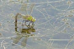在南安普敦共同性的一只皇帝蜻蜓 免版税库存图片