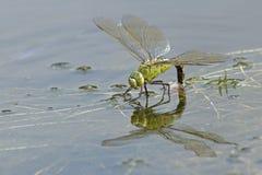 在南安普敦共同性的一只皇帝蜻蜓 库存照片