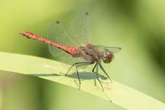 在南安普敦共同性的一只红色蜻蜓 库存照片