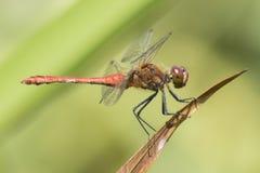 在南安普敦共同性的一只红色蜻蜓 免版税库存图片