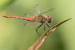 在南安普敦共同性的一只红色蜻蜓 库存图片
