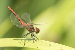在南安普敦共同性的一只红色蜻蜓 免版税库存照片