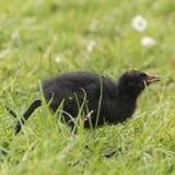 在南安普敦共同性的小雌红松鸡 库存照片