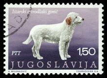 在南斯拉夫打印的邮票显示Istrian粗糙头发的猎犬 免版税库存图片