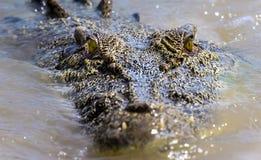 在南方的盐水鳄鱼 库存照片