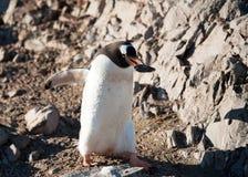 在南极洲海滩的Gentoo企鹅 库存图片