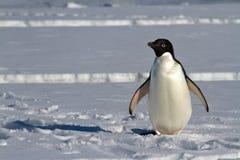 在南极海峡的冰站立的Adelie企鹅 免版税库存照片