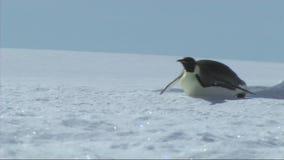在南极洲的皇企鹅 股票视频