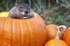 在南瓜的Groundhog 免版税库存照片
