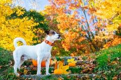 在南瓜逗留附近的幼小杰克罗素狗狗在台阶 免版税库存照片