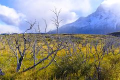 在南美大草原的干燥死的树 免版税库存图片