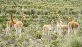 在南美大草原的狂放的骆马之类牧群 图库摄影