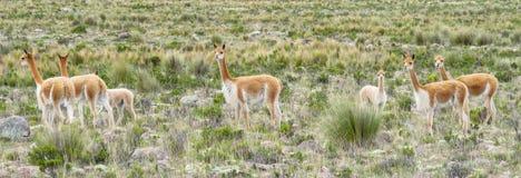 在南美大草原的狂放的骆马之类牧群 库存照片