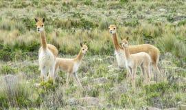 在南美大草原的狂放的骆马之类牧群 库存图片