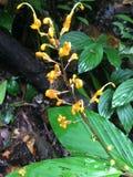 在南部的黄色雨林花泰国 免版税库存照片