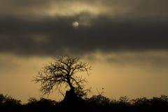 在南部非洲-蚂蚁登上盖的树的清早 免版税图库摄影
