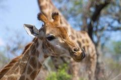 在南非大草原的长颈鹿 免版税图库摄影