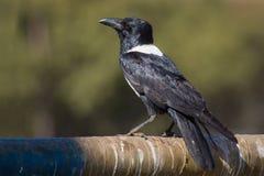 在南非拍摄的一只染色乌鸦 免版税库存图片