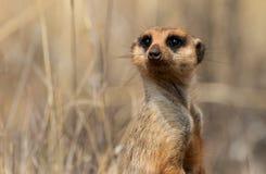 在南非拍摄的一注意meerkat 免版税库存照片