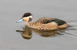 在南非拍摄的一霍腾特族的小野鸭 免版税库存图片