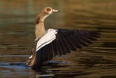 在南非拍摄的埃及鹅 免版税库存图片
