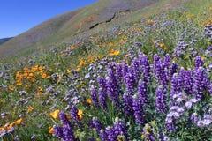 在南Califonia的野花领域 免版税库存图片