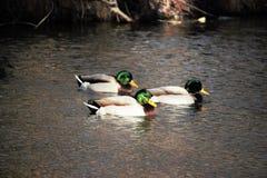 在博伊西河的三只成熟雄鸭野鸭 库存图片