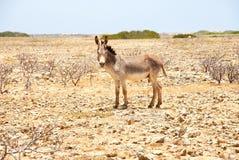 在博内尔岛的驴 免版税库存照片