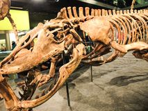在博物馆的恐龙骨骼在墨尔本 图库摄影