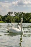 在博登湖的白色天鹅 免版税库存照片