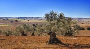 在卡斯提尔La Mancha,西班牙的橄榄。 免版税库存照片