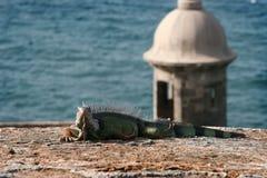 在卡斯蒂略圣费利佩del Morro的鬣鳞蜥 免版税库存图片