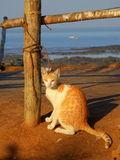 在卡特海滩孟买的猫 免版税库存图片