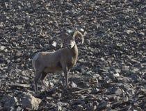 在卡纳纳斯基斯高山区域岩石倾斜的大角野绵羊  免版税图库摄影