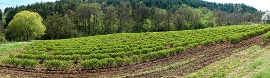在卡赞勒克附近的保加利亚玫瑰色谷 罗斯Damascena领域及早在春天-横幅 图库摄影