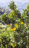 在卢塞纳山的柠檬树  免版税库存图片