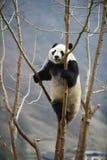 在卧龙四川瓷的大熊猫 库存图片